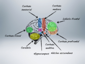 Regiones cerebrales que entran en funcionamiento con la actividad musical